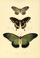 Lepkék, pillangók 4. Vintage/antik zoológiai illusztráció. Kitűnő minőségű reprint nyomat