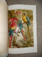 Két cromolitográfia, a Meyers Conversations Lexikon-ból, 4.kiadás, 1870 előttről, papagályok