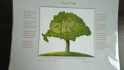 Turani oak